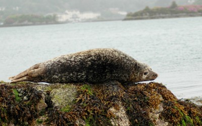 seal-from-garnish-island-ferry